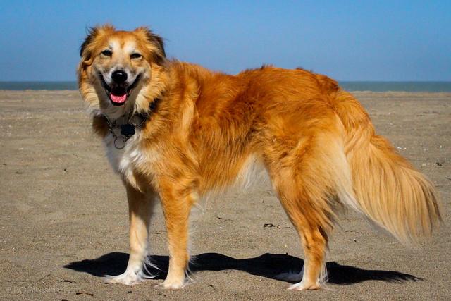 Tig the suspected English Shepherd dog.