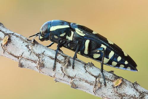 beetle earlymorning naturallight macrophotography coleoptera focusstack buprestidae fieldshooting jewelbeetle canoneos5dmarkii canonmpe65mmf28 zerenestacker manfrotto055protripod newportm423 sunwayfotoquickreleasesystem
