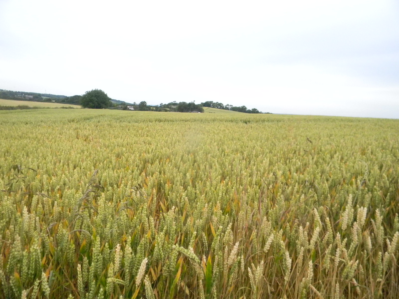 Wheat Lewes to Berwick