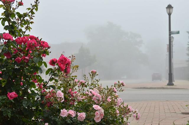 Pink roses, foggy street