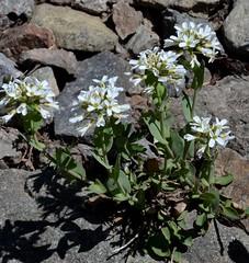 Noccaea montanum