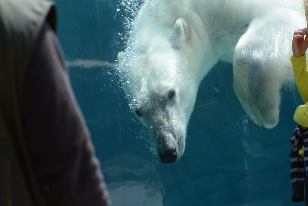 Eisbär Vicks im Zoo de Mulhouse
