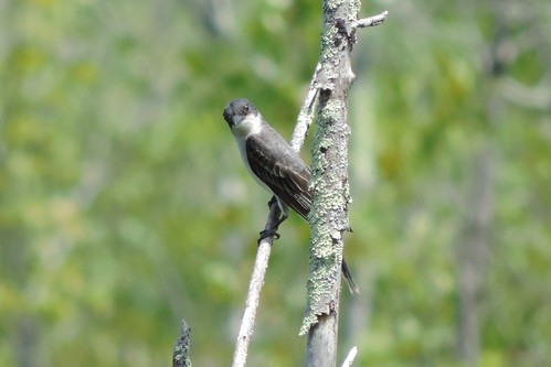 Kingbird feeding