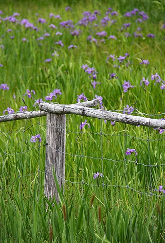 wood old iris flower green floral field grass fence wooden scenery post scenic wildflower irises nfld newf blueflagiris randomisland hickmansharbour