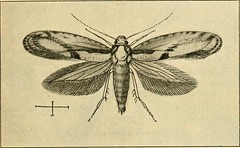 """Image from page 222 of """"A manual of dangerous insects likely to be introduced in the United States through importations"""" (1917)"""
