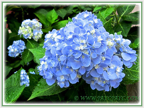 Blue Hydrangea macrophylla 'Endless Summer' showing off, June 27 2014!