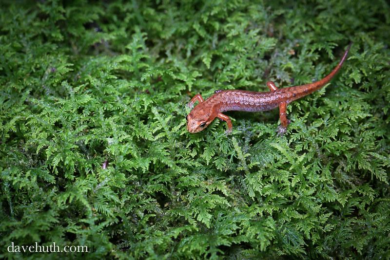 Northern Pygmy Salamander (Desmognathus organi)