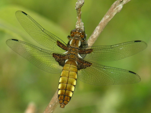 Broad-bodied chaser (female) II
