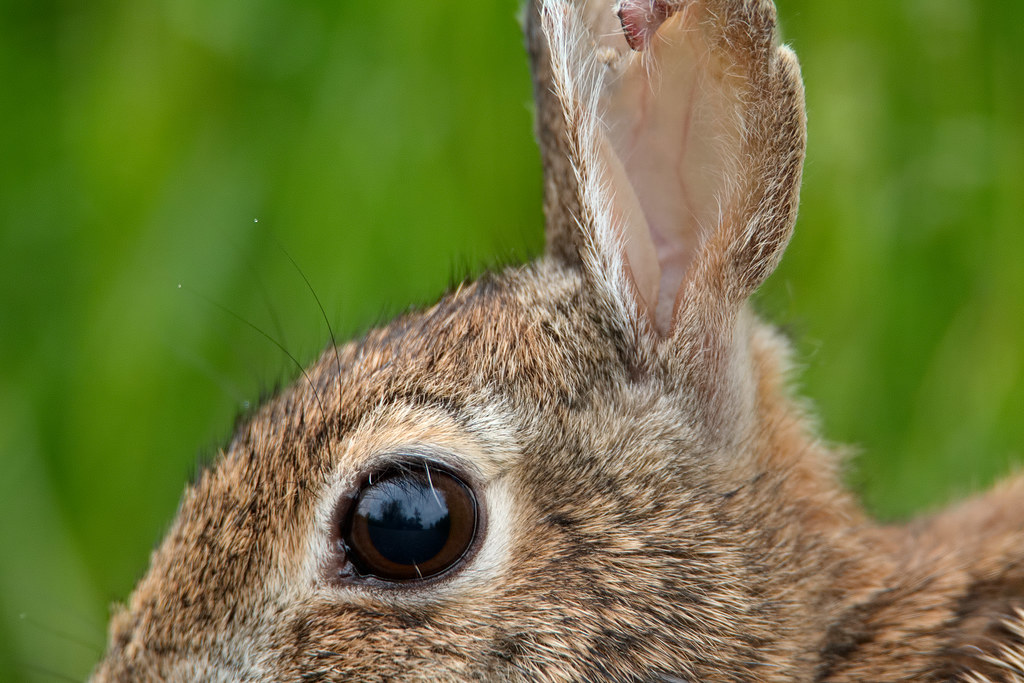 A close view of the face of an eastern cottontail