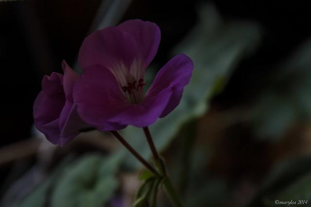 Geranium Houseplant