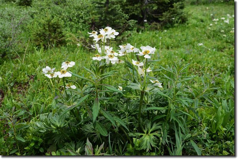 White Globe flower