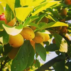 En Lorraine, on a commencé la récolte des mirabelles.