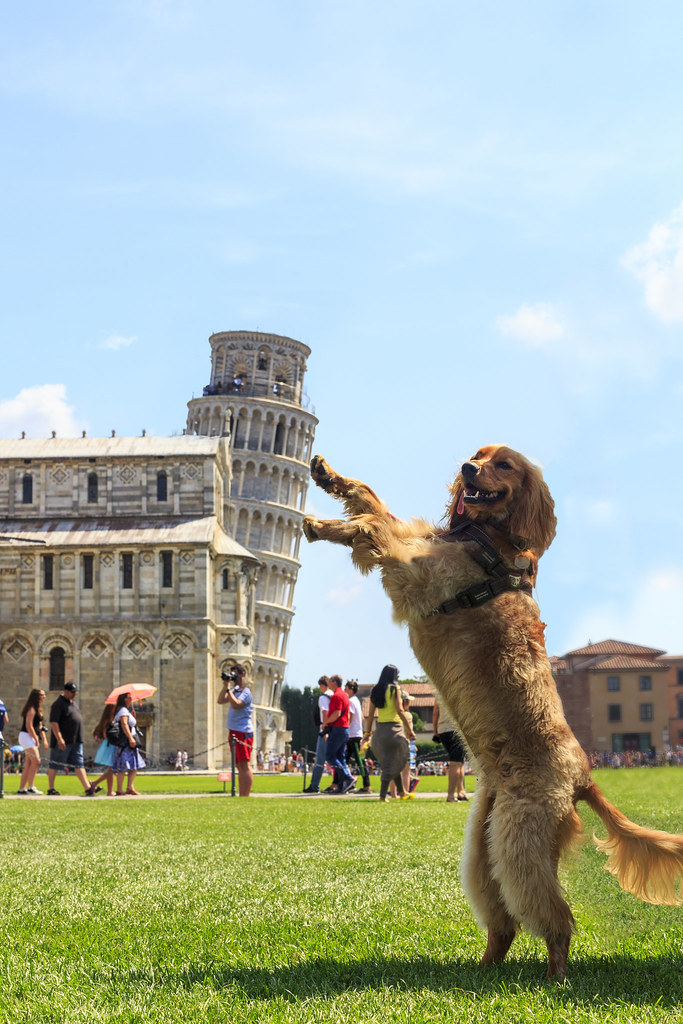 Golden Cocker Spaniel posing against the Leaning Tower of Pisa