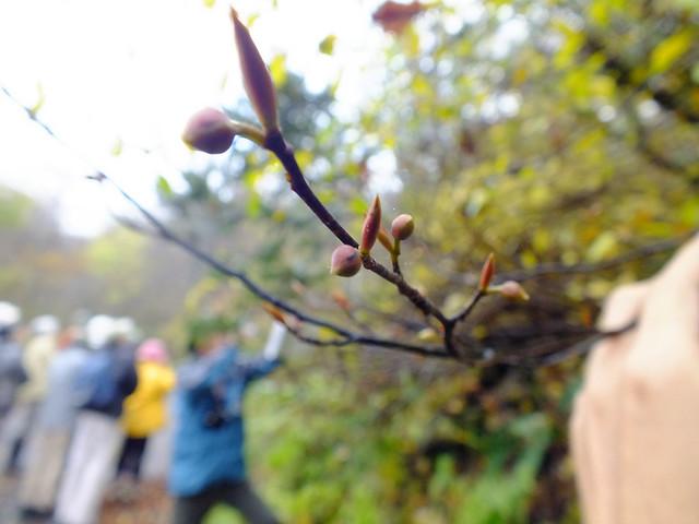 丸い花芽と細長い葉芽の2つの冬芽をつけるクロモジ.
