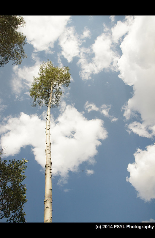 Aspen Tree Standing Tall