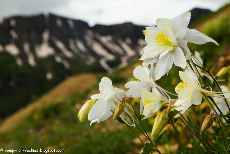 Columbines on High