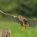 Incoming Kestrel