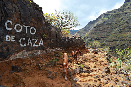 Hunting dogs in Anaga, Tenerife