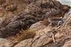 Eriogonum parvifolium (Dune Buckwheat)