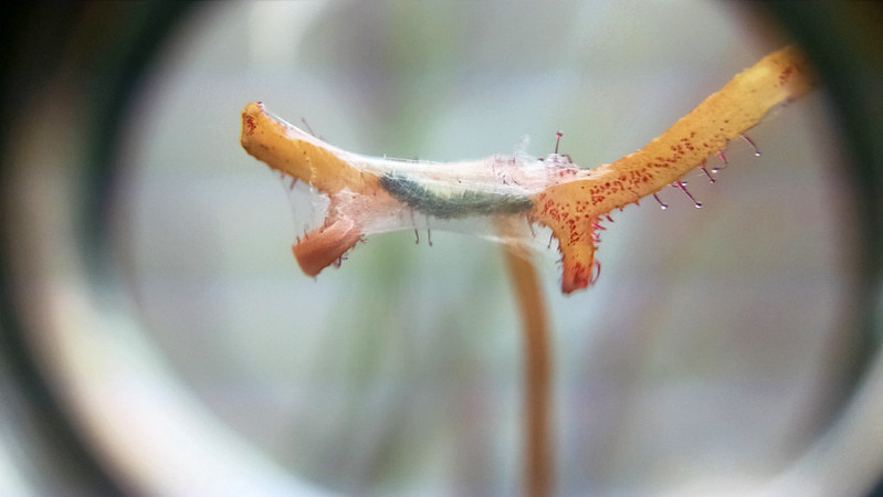 Caterpillar close-up on Drosera binata leaf