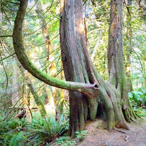 Tree with elephant trunk