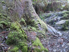 2014-08-10 Lilydale Falls 086 - Mossy roots