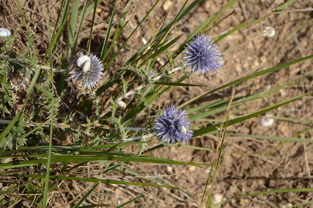 Echinops ritro - azurite, oursin bleu - Page 2 14940576889_9ce800ee96_z