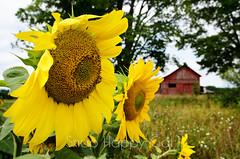 Sunflowers Guard Maple Bay Farm