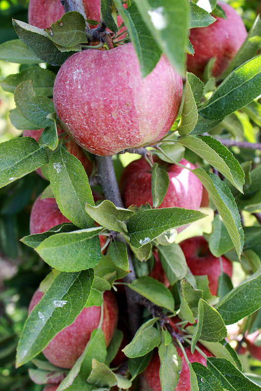 apples, fall, apple tree, apples on tree, apple bunch