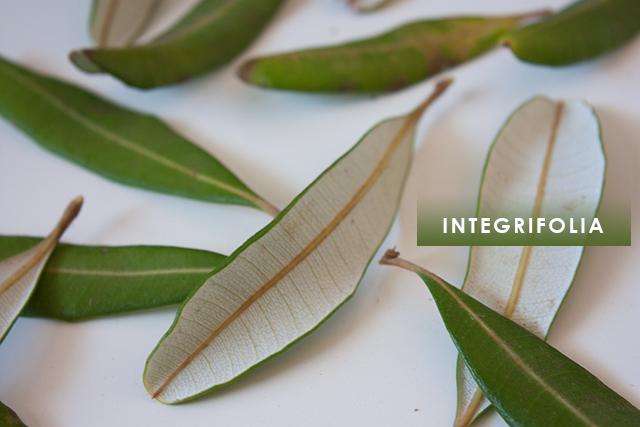 integrifolia-1