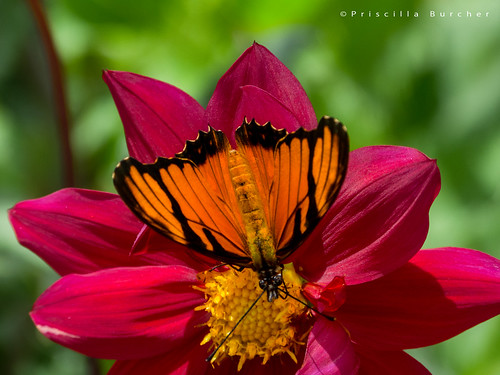 ngc butterflies npc mariposa dionejuno mariposasdecolombia silverspottedflambeau butterfliesfromcolombia mariposaconmanchasplateadas heliconiajuno l1420842