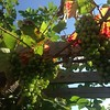 Still #summer - in the back garden #grapes #fruit