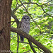 fbc57 has added a photo to the pool:Seeing a Barred Owl (Strix varia) near Farrell Park was a real treat today!. What a beautiful bird to see gliding in the woods.