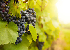 Red wine grapes on vineyard
