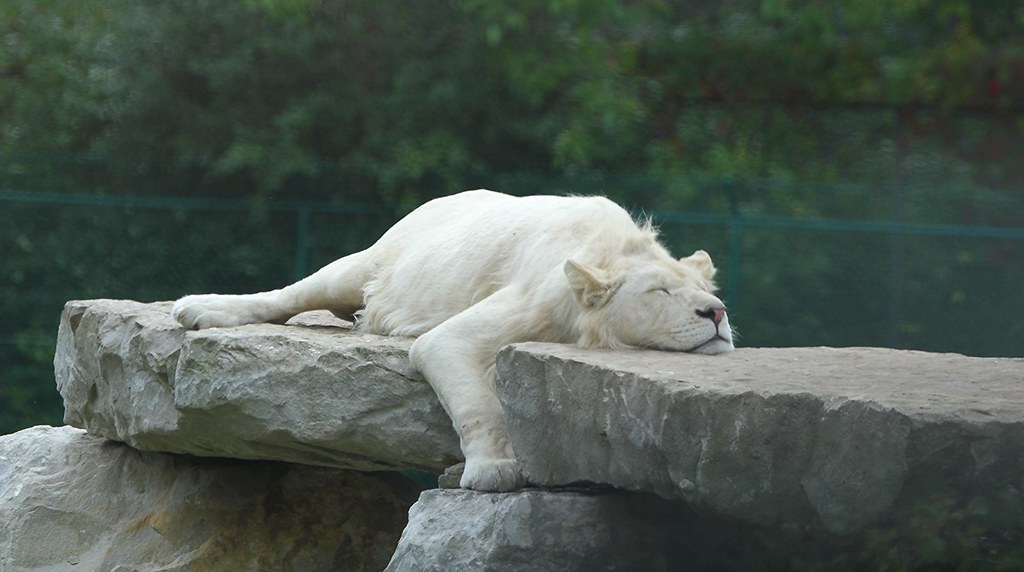 The White Lion Sleeps Tonight