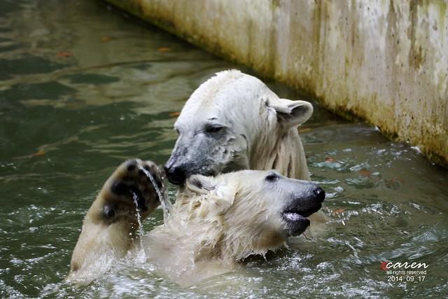Eisbären Giovanna&Nobby 2014_09_17 075