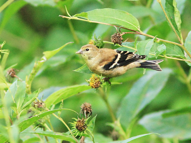 American Goldfinch 20140918