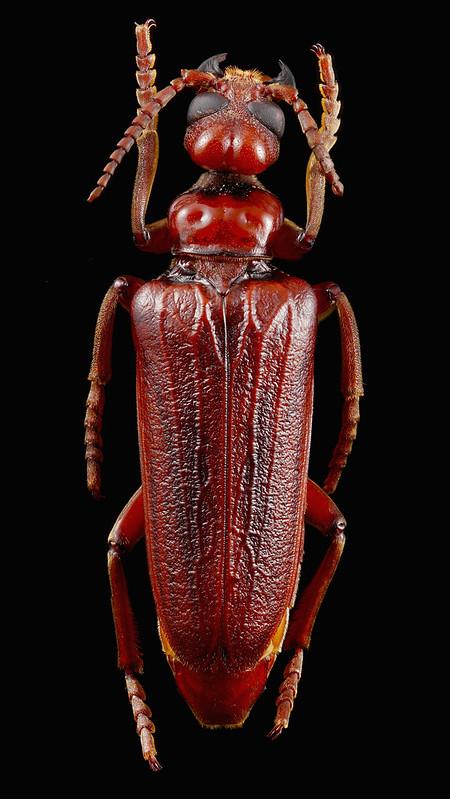 Southeast Asia Meloidae