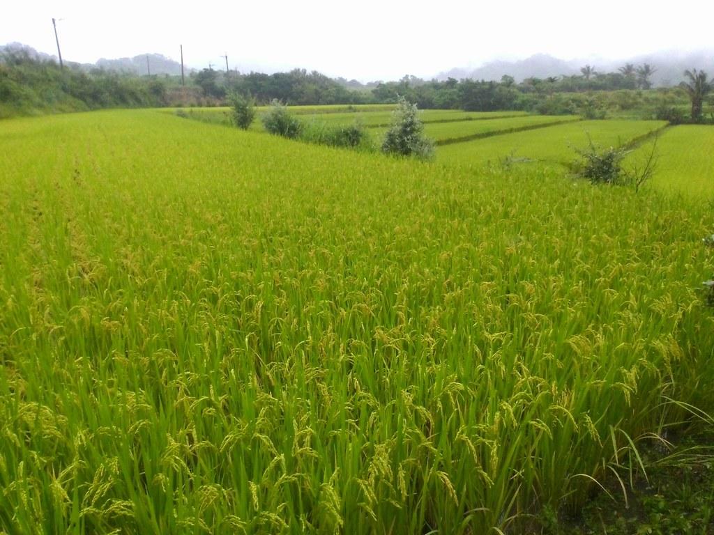 肥料較少的上田區,成熟度較一致,稻面平整、顏色均勻