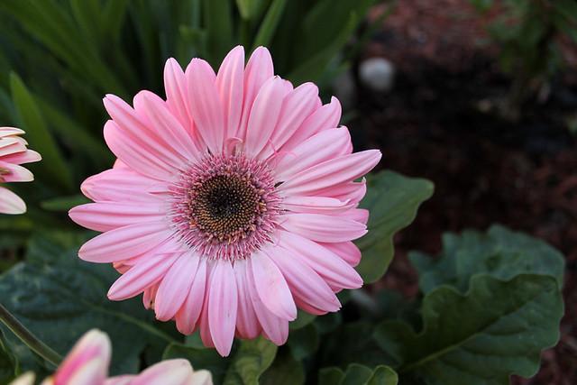 hello pretty gerbera daisy