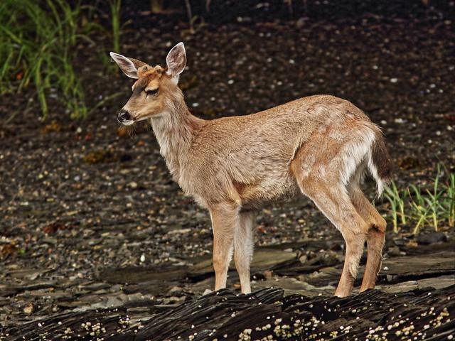 Sitka Deer 2-20140615