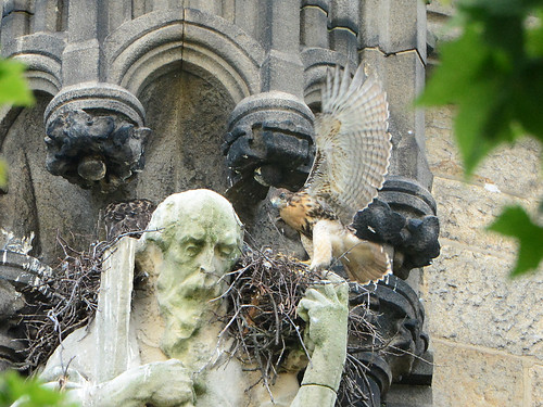 Cathedral Hawk Nestlings (1540)