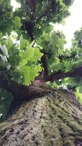 樹を見上げる