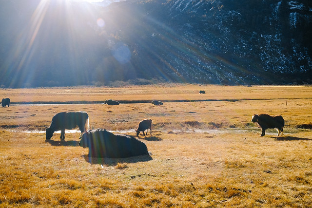 Yaks of the Highlands