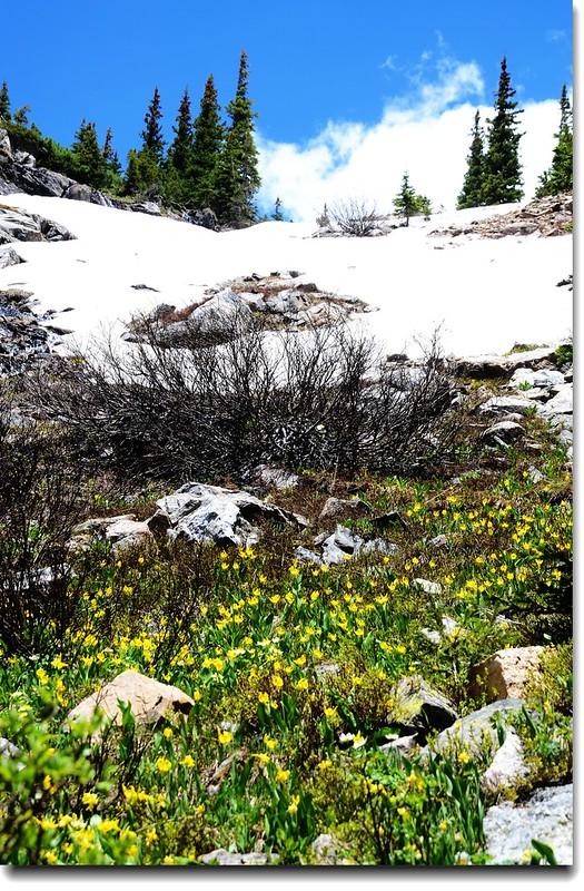 Glacier Lily 24