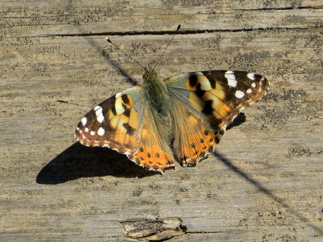Painted Lady / Cosmopolitan