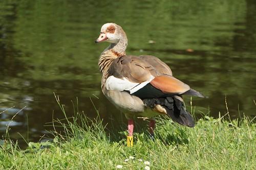 Vondelpark: anatra lungo le sponde di un laghetto