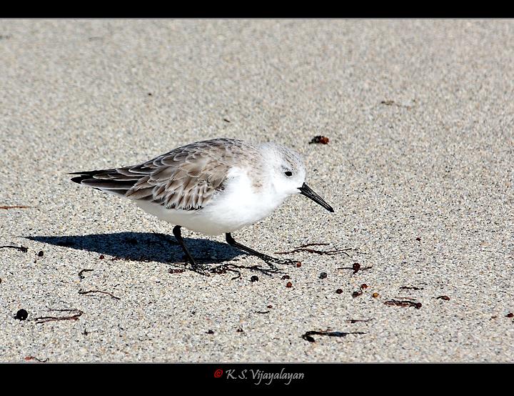Sanderling, USA