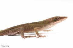 animal, animal figure, reptile, lizard, fauna, scaled reptile,
