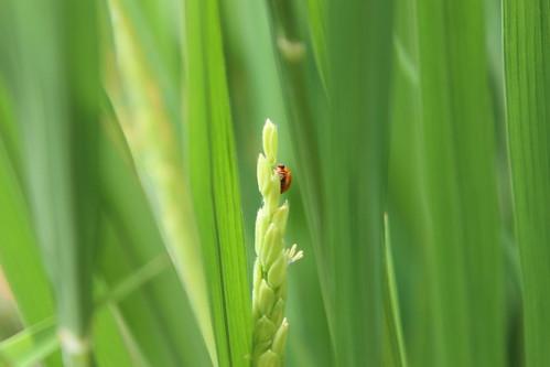 水田生態好,澄瓢蟲也來拜訪!